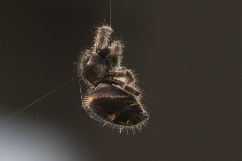J - Jumping spider