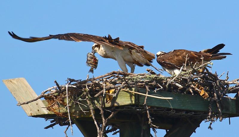 B - Osprey feeding its young