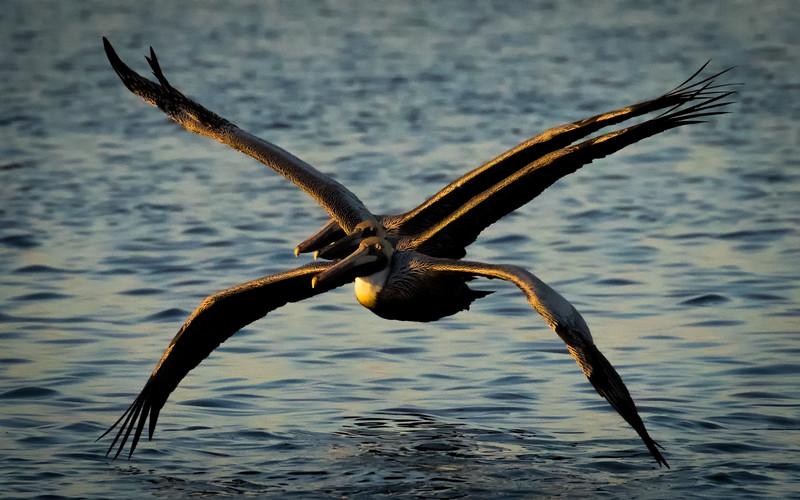 M - Tarpon Bay Pelican Peleton