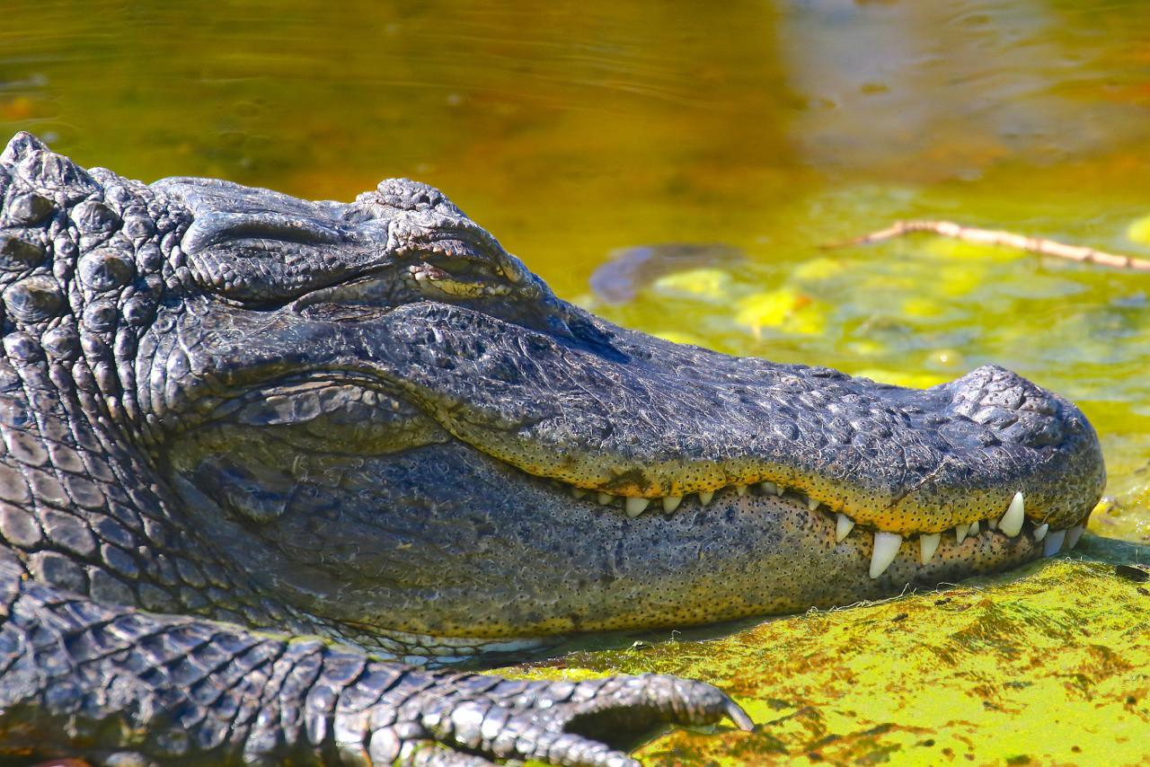 B -  Alligator