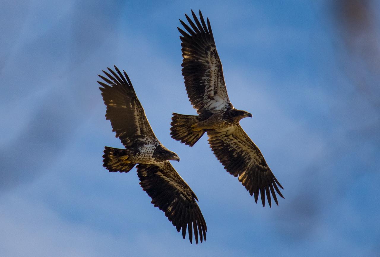 J - Eaglets--Conowingo Dam