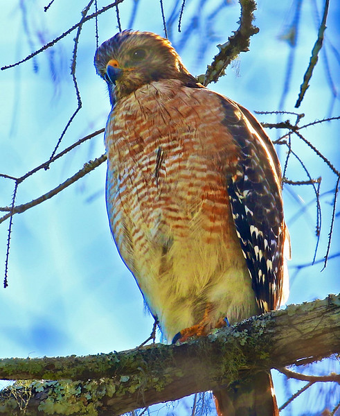 B - Red-shouldered Hawk