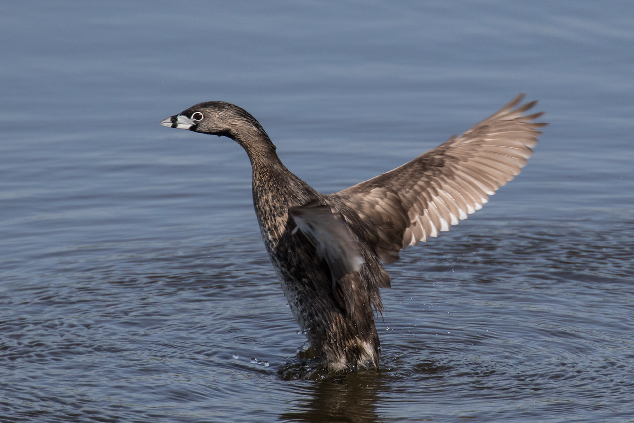 J -  Pied-billed Grebe