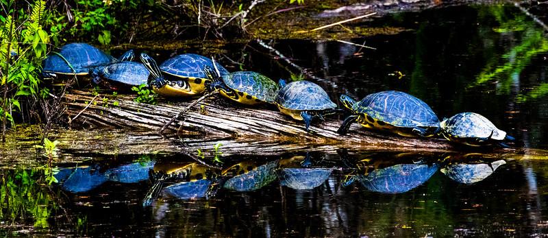 M - Six Mile Cypress Turtles