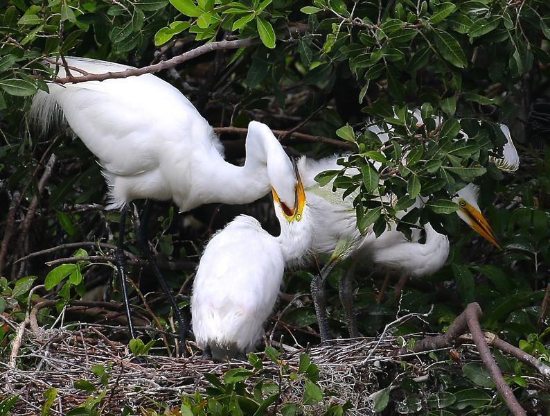 B - Feeding the fledglings