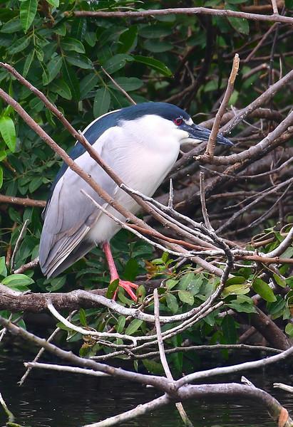 B - Black Crowned Night Heron