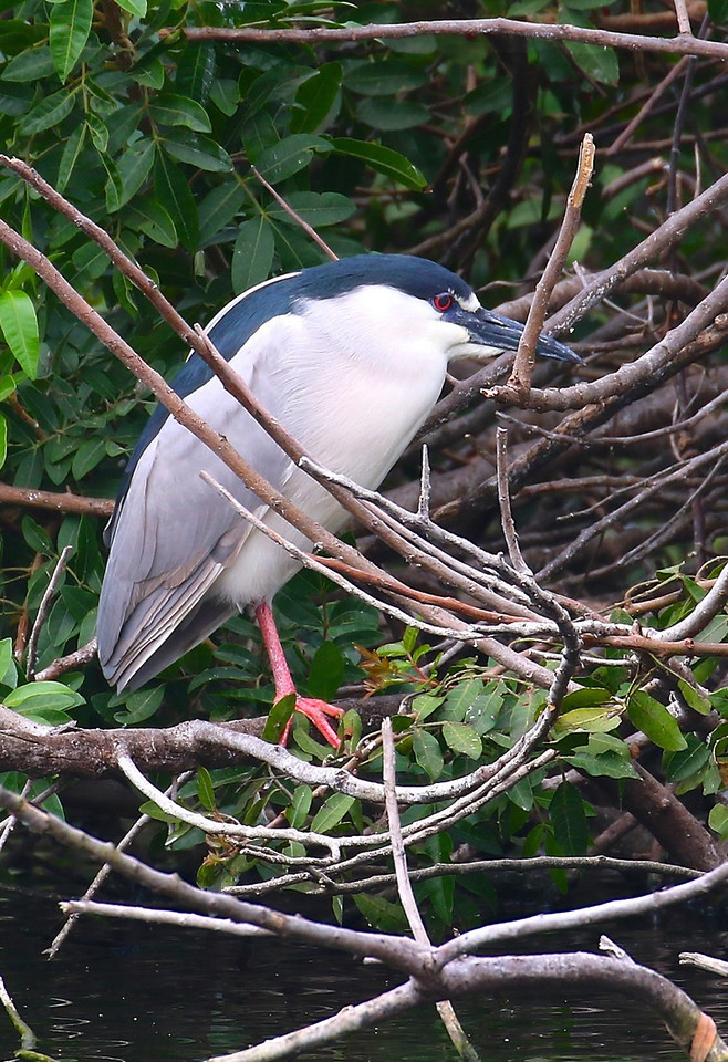 B - Black Crowned Night Heron