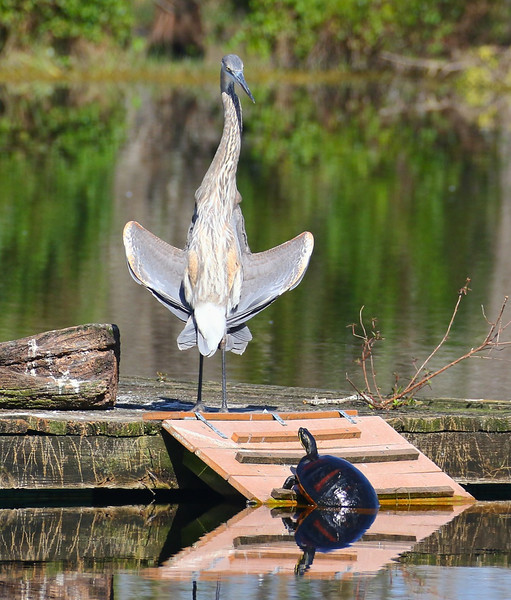 B - Great Blue Heron greets any unexpected visitor