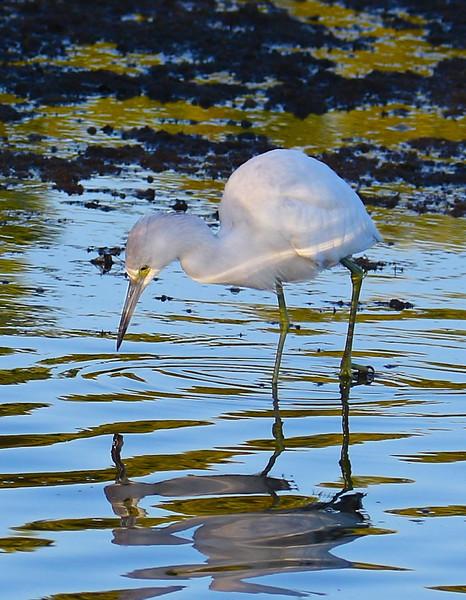 B -  Snowy Egret