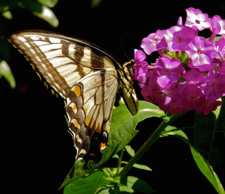 W - Swallowtail & Phlox
