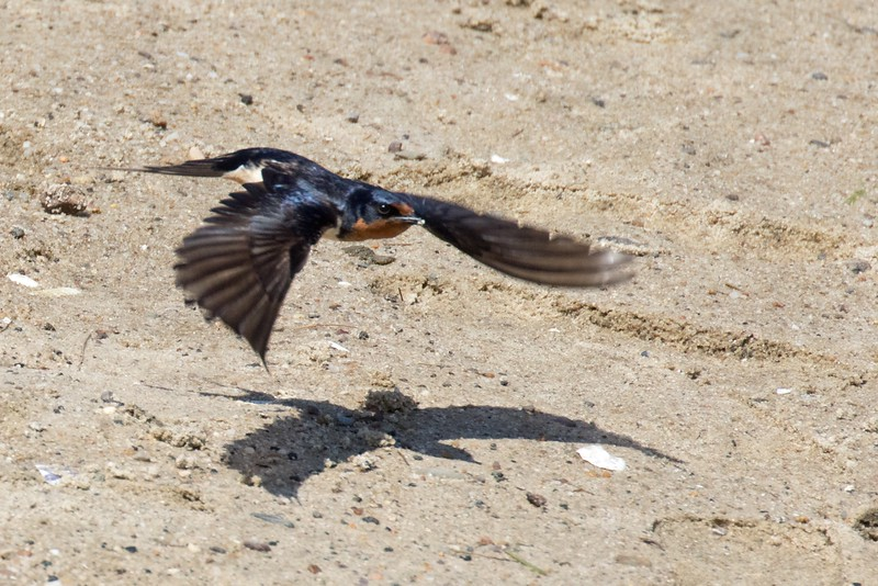 J - Tree Swallow in Flight