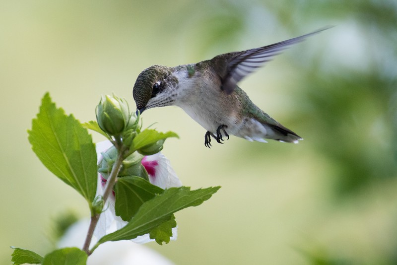 J - Ruby-Throated Hummingbird