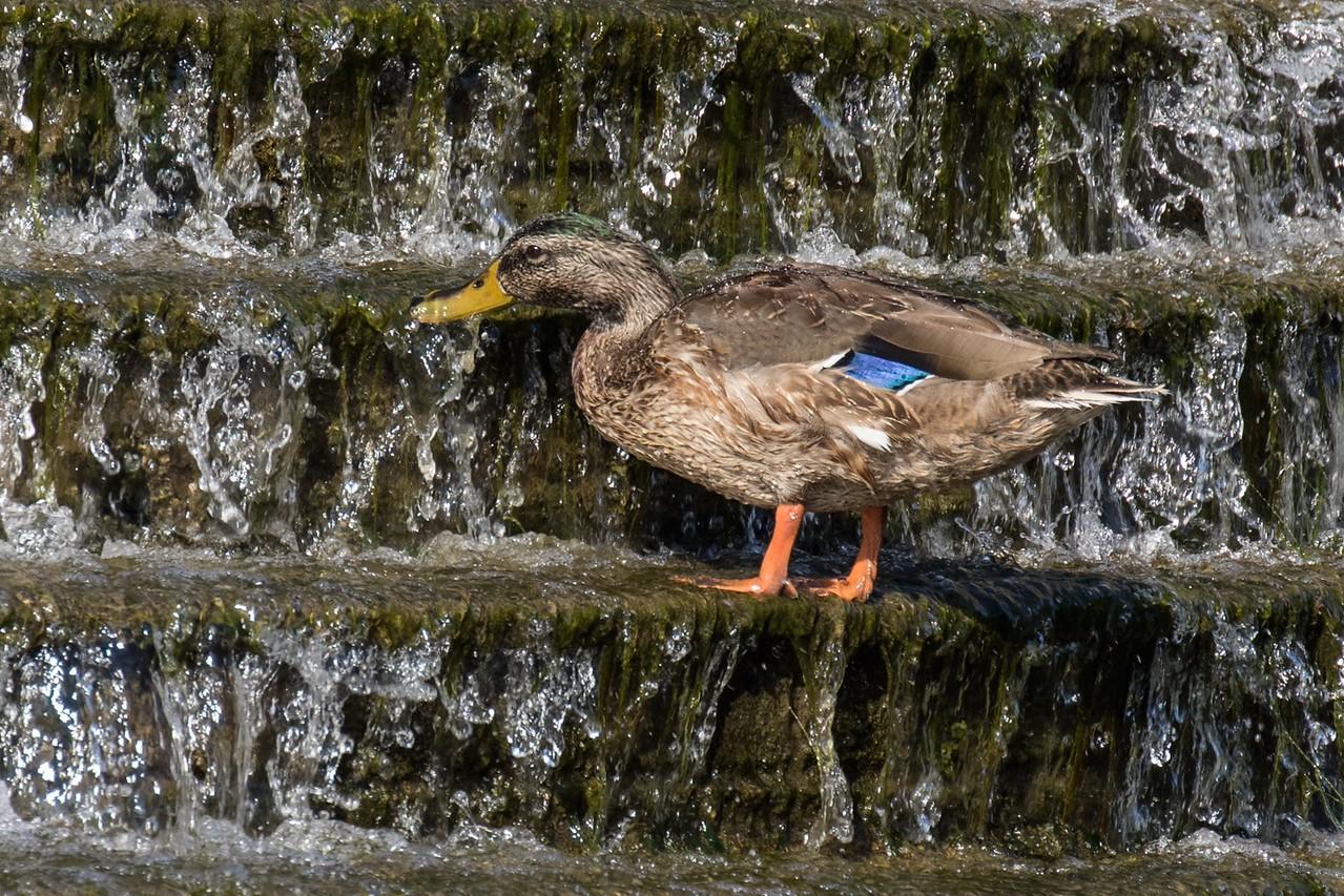 J - Duck on the Creek