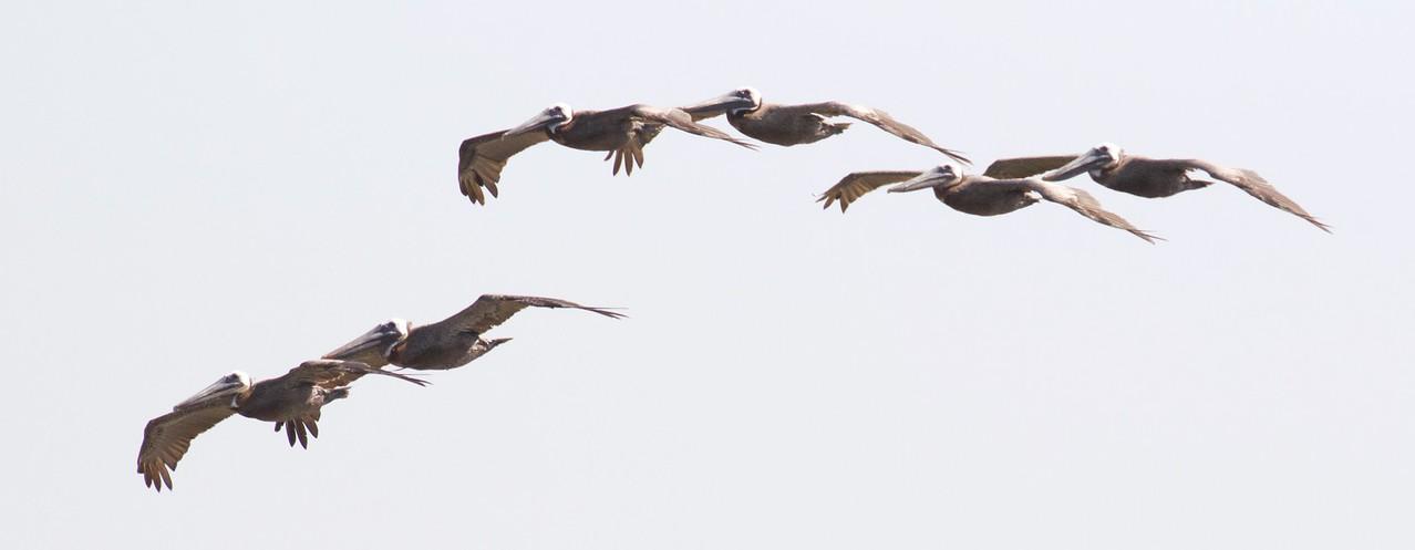 M - Flight of Pelicans