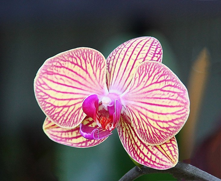 B - Edison:Ford orchid