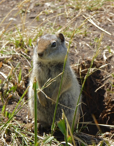W - Ground  Squirrel