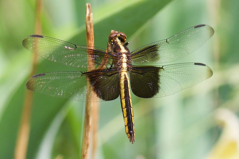 J — Widow Skimmer  (Libellula luctuosa)