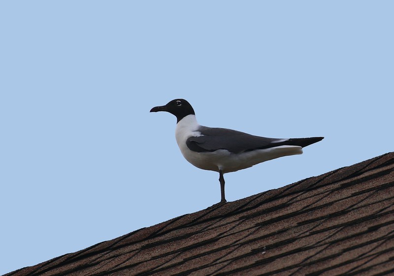 B - Black-headed seagull