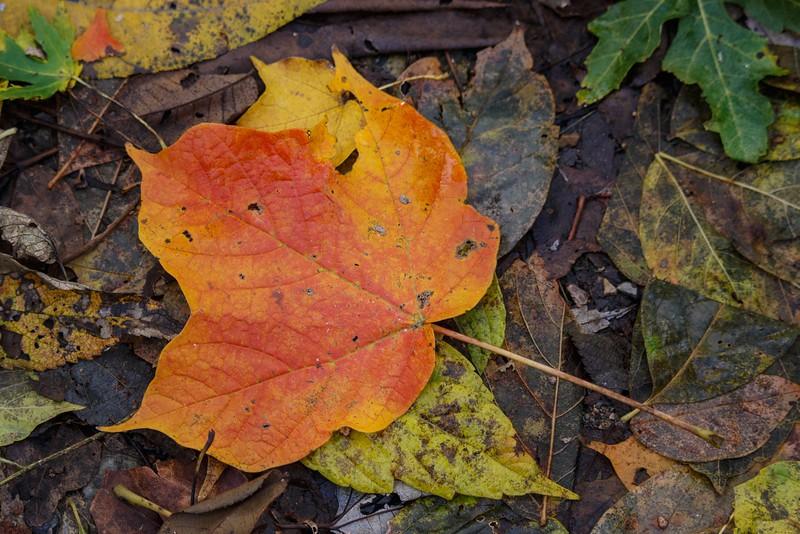 J — Black Maple leaf