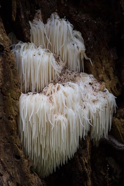 J — Bear's Head Tooth Fungus