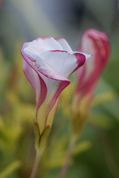 J — Oxalis versicolor