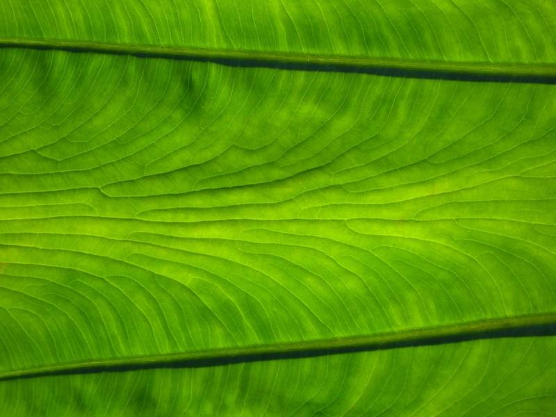 W - Elephant ear plant backlit2