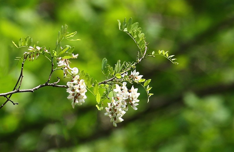 B - black locust blossoms