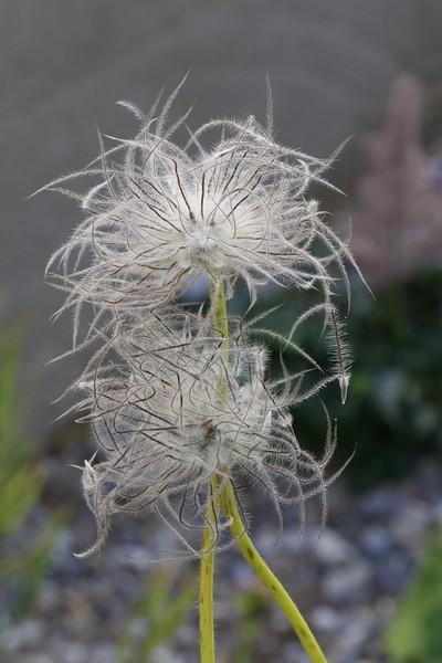 J — Pulsatilla patens seeds