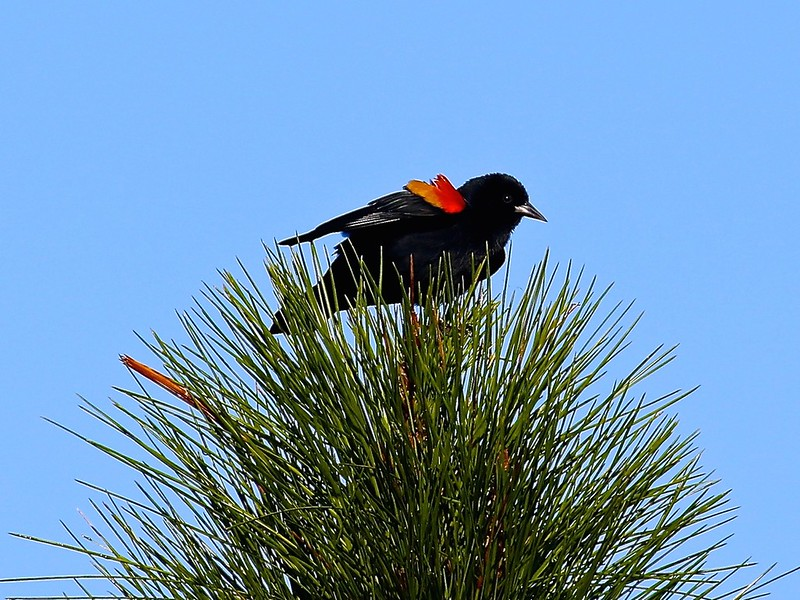 B-Redwinged blackbird