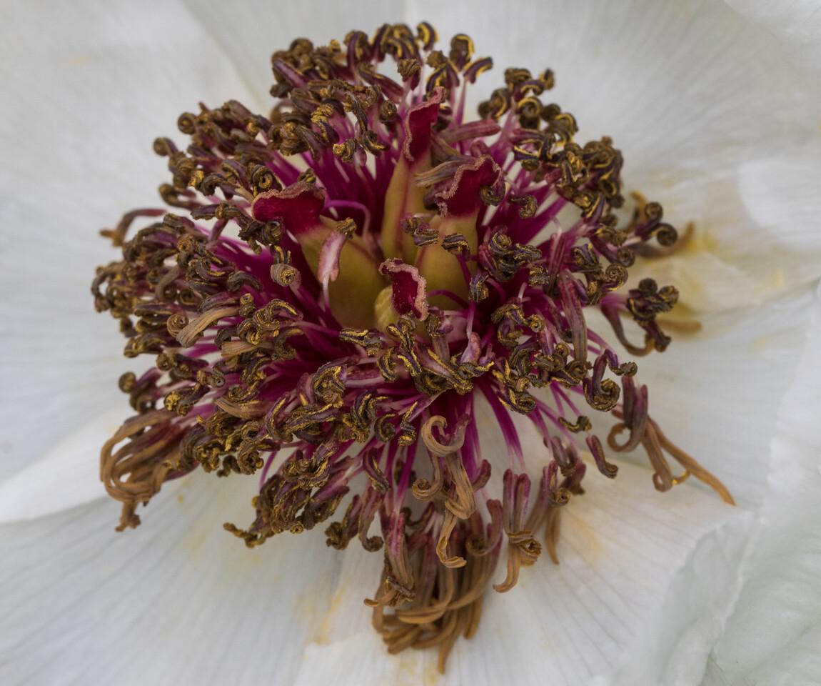 J - Paeonia obovata ssp. obovata var. willmottiae