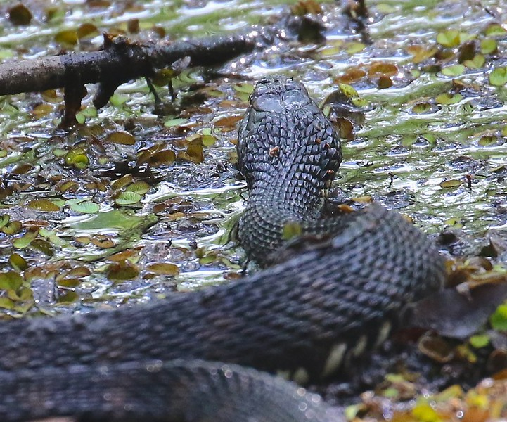 B-Banded water snake