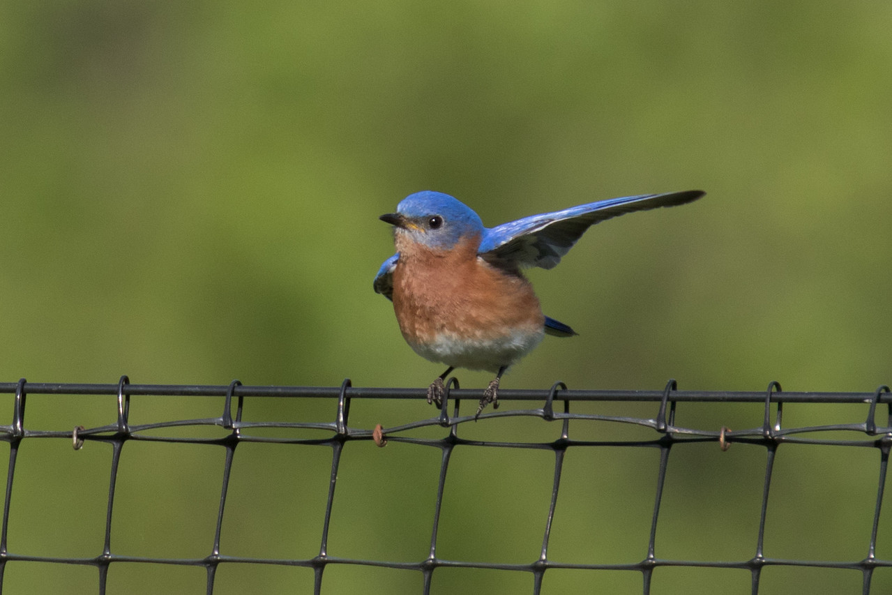 J - Bluebird salute