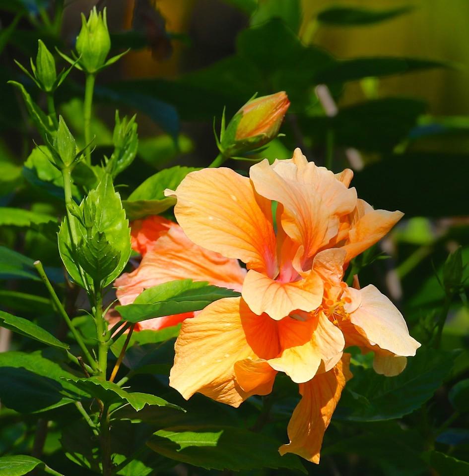 B-Double hibiscus