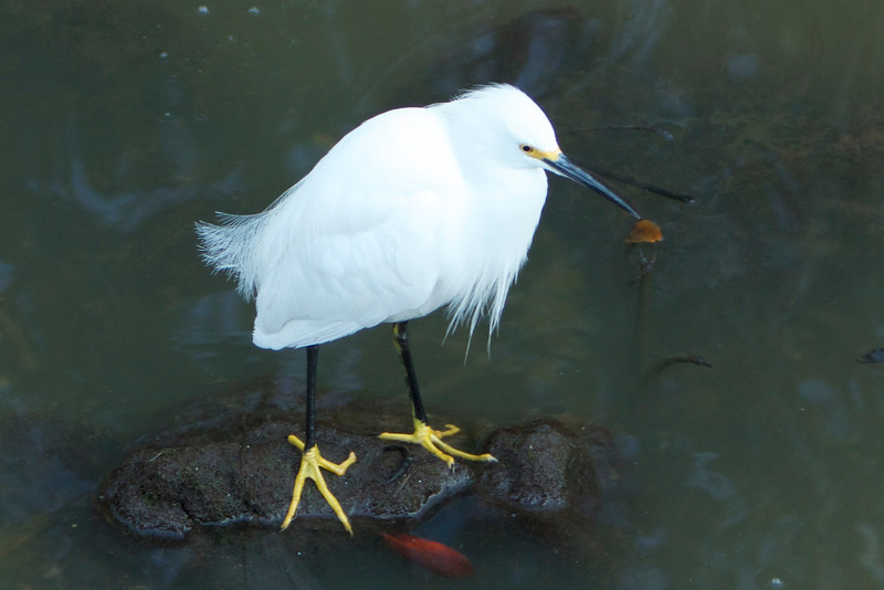M - Snowy Egret, Sanibel