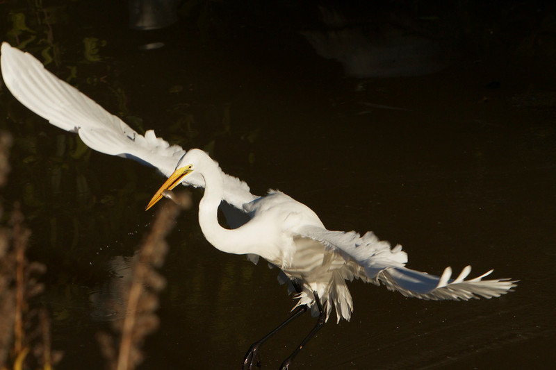 M -  Great Egret, Sanibel