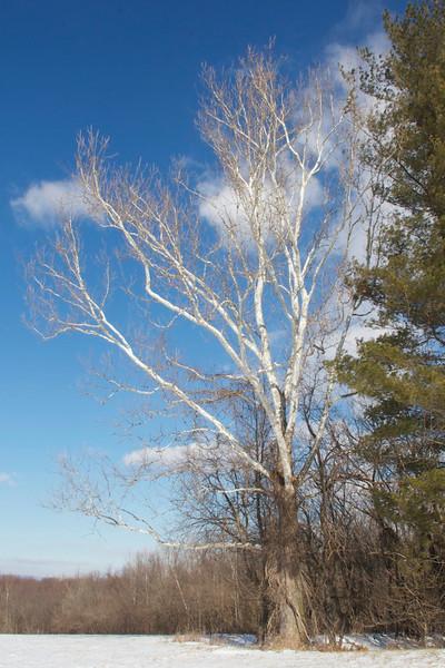 J - White Sycamore in winter
