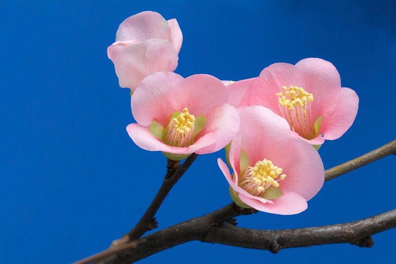 J - Quince Blossom
