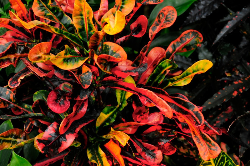 W - Tropicalaa plant at Chicago Botanic Gardens