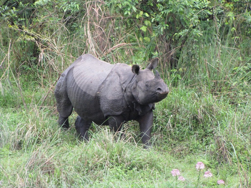 W-One horned rhino