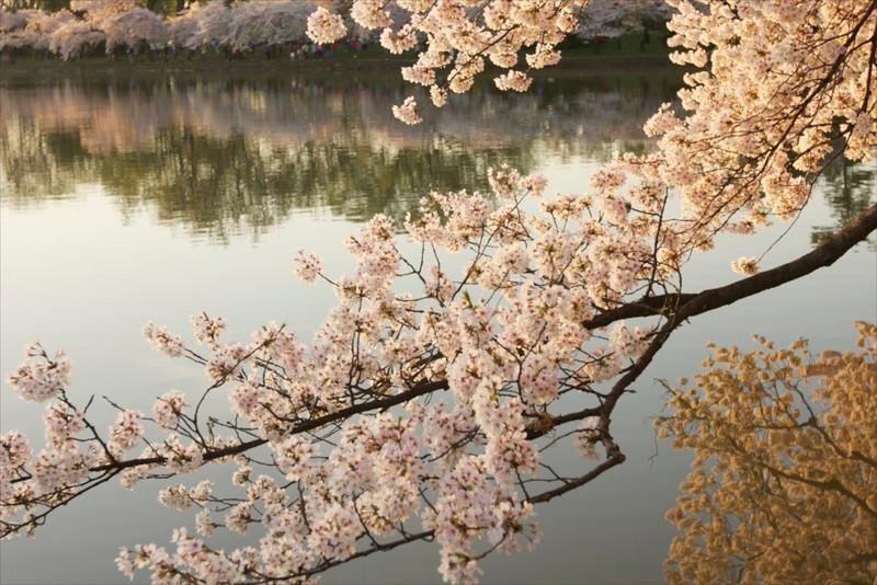 M-Cherry Blossom Festival