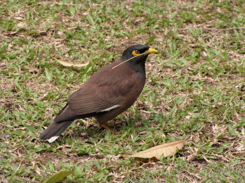 W-Common mynah