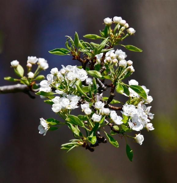 B-Pear blossoms
