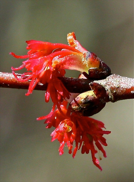 B-Red Maple Blossom