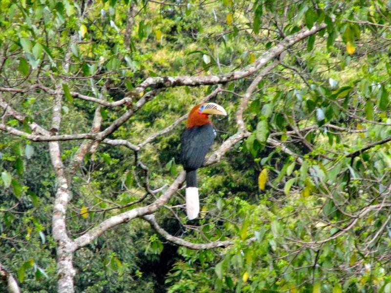 W-Rufous necked hornbill