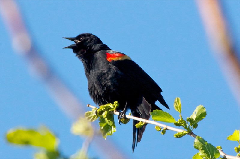 J-Red-wing Blackbird's morning call