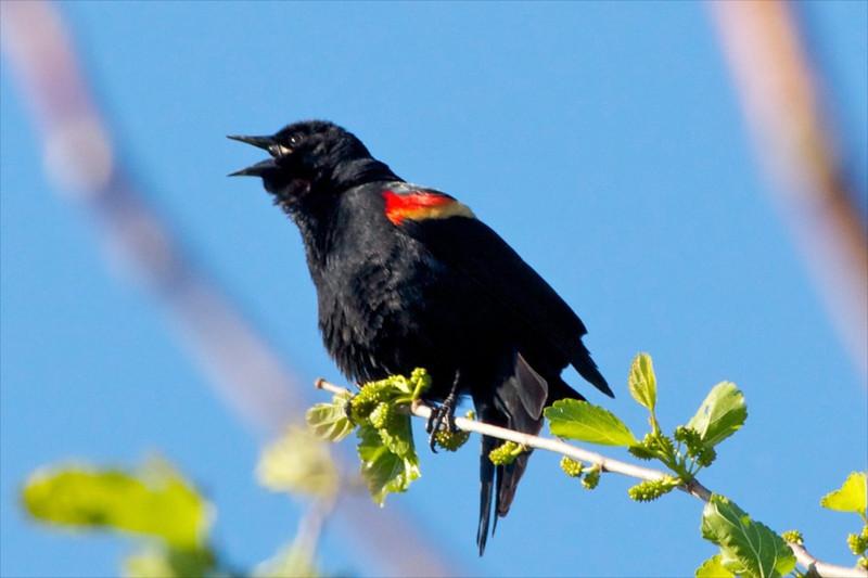 J-Red-wing Blackbird's morning call