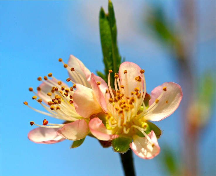B-Peach Blossom