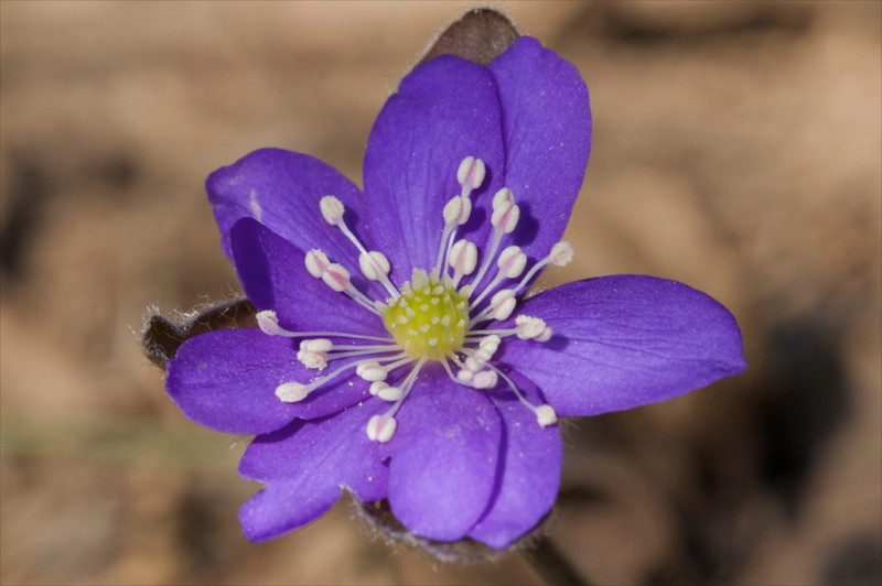 J-Hepatica nobilis 'Lithuanian blue'
