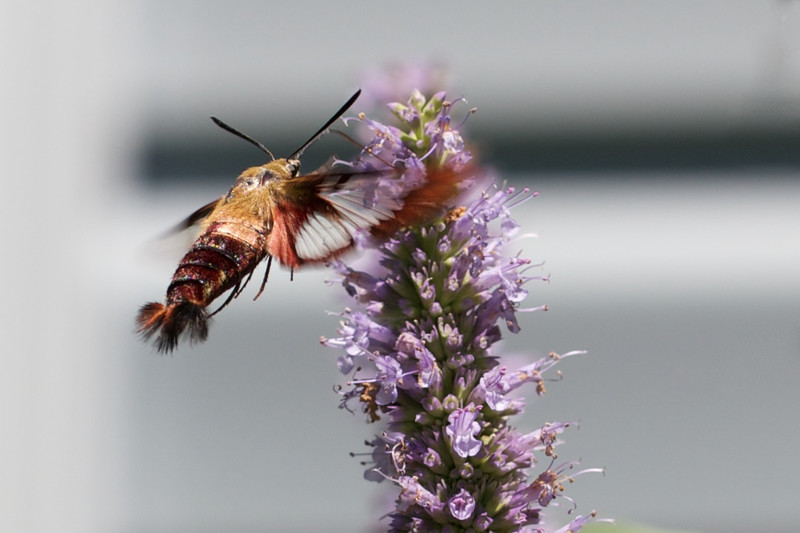 J - Clearwing Moth on Agastache