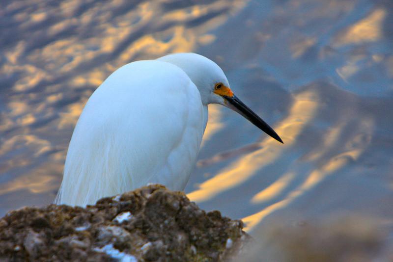 M Pensive Snowy Egret